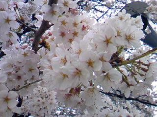 日本の春は桜が咲かないと始まりませんね。